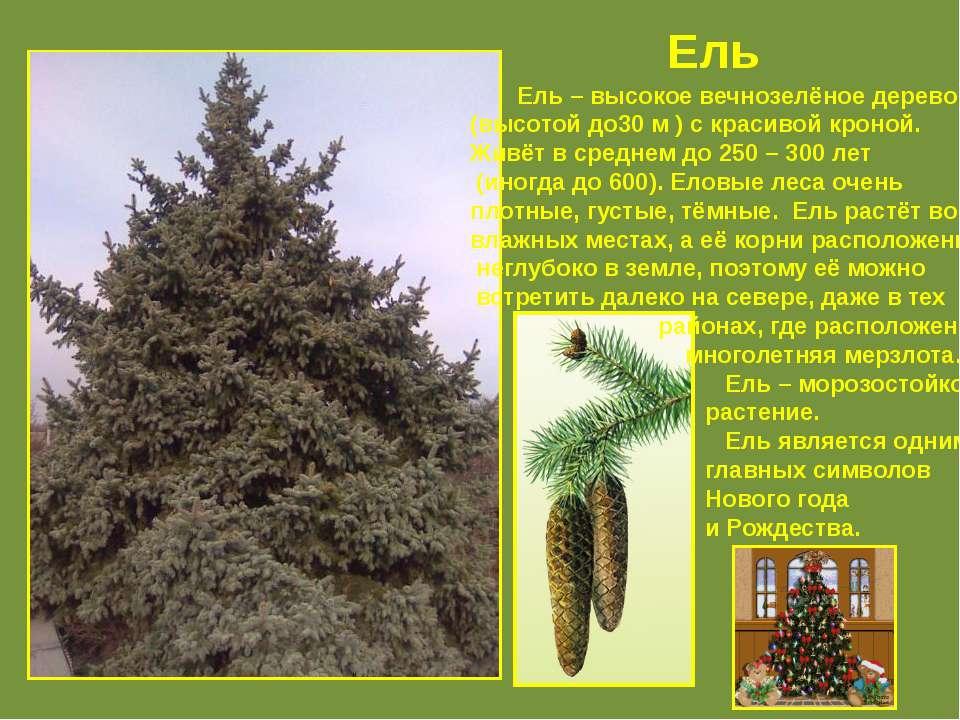 Ель Ель – высокое вечнозелёное дерево (высотой до30 м ) с красивой кроной. Жи...