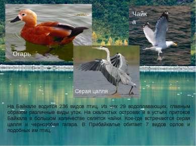 На Байкале водится 236 видов птиц. Из них 29 водоплавающих, главным образом р...
