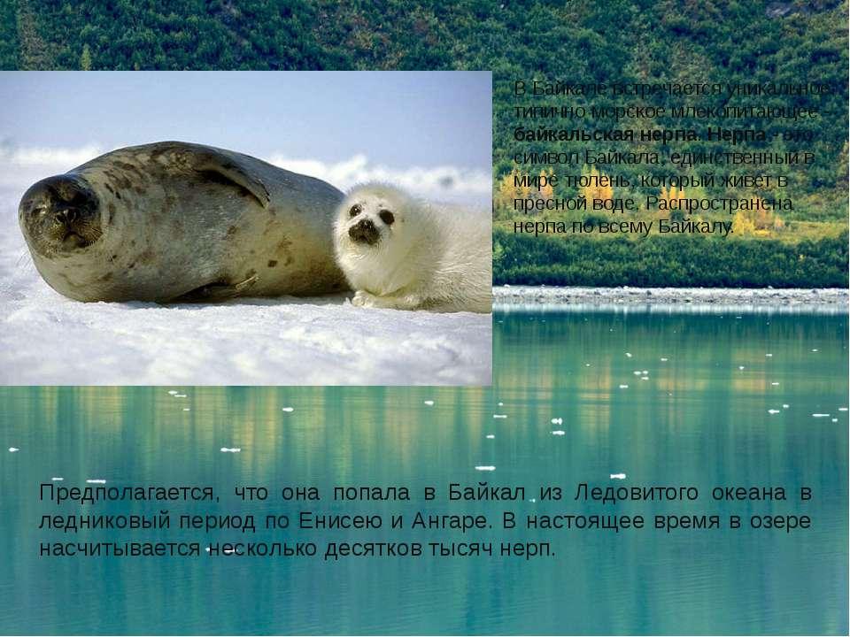 В Байкале встречается уникальное, типично морское млекопитающее - байкальская...