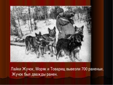 Лайки Жучок, Моряк и Товарищ вывезли 700 раненых. Жучок был дважды ранен.