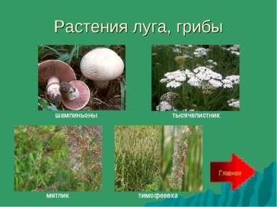 Растения луга, грибы Главная шампиньоны тысячелистник мятлик тимофеевка
