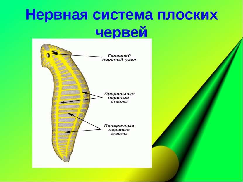Нервная система плоских червей