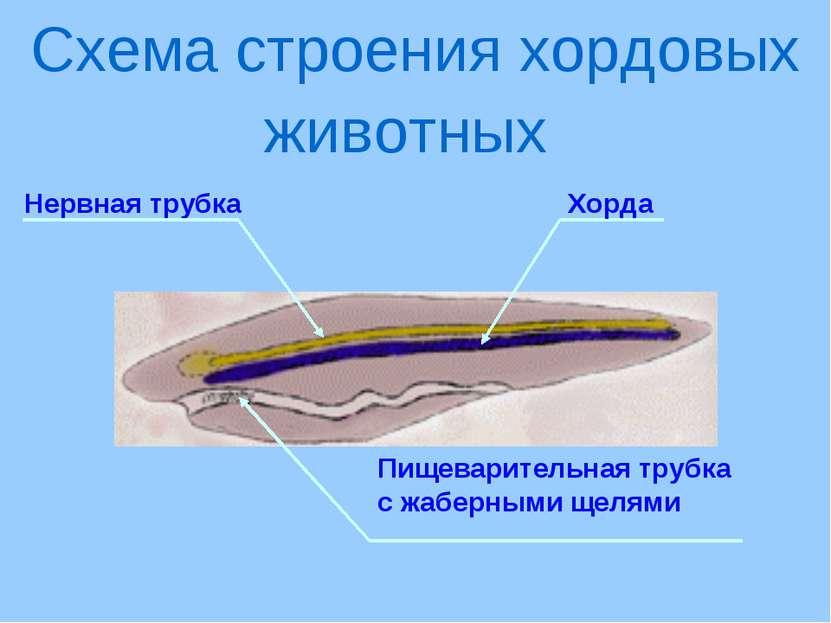Нервная трубка Схема строения хордовых животных Хорда Пищеварительная трубка ...