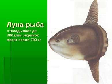 Луна-рыба откладывает до 300 млн. икринок весит около 700 кг