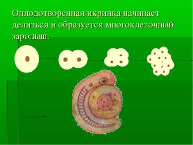 Оплодотворенная икринка начинает делиться и образуется многоклеточный зародыш.