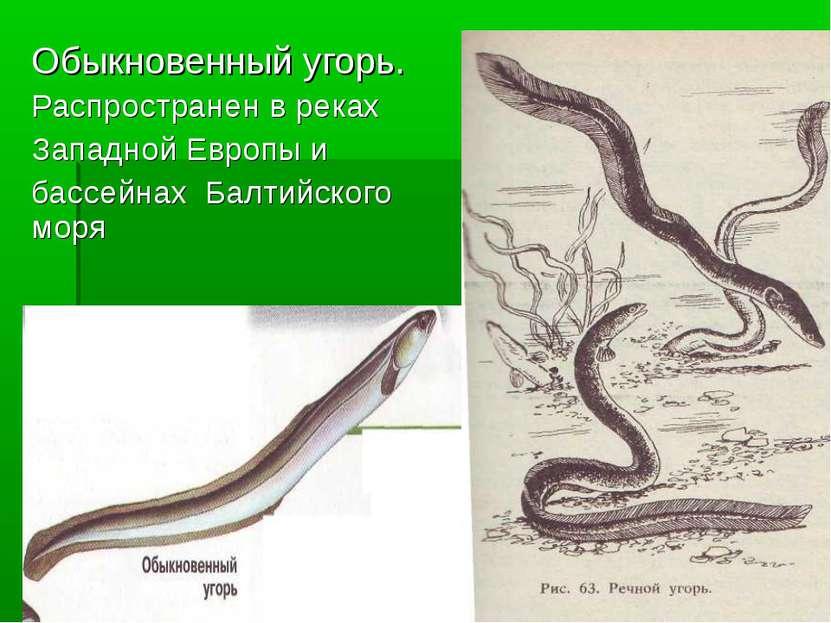 Обыкновенный угорь. Распространен в реках Западной Европы и бассейнах Балтийс...