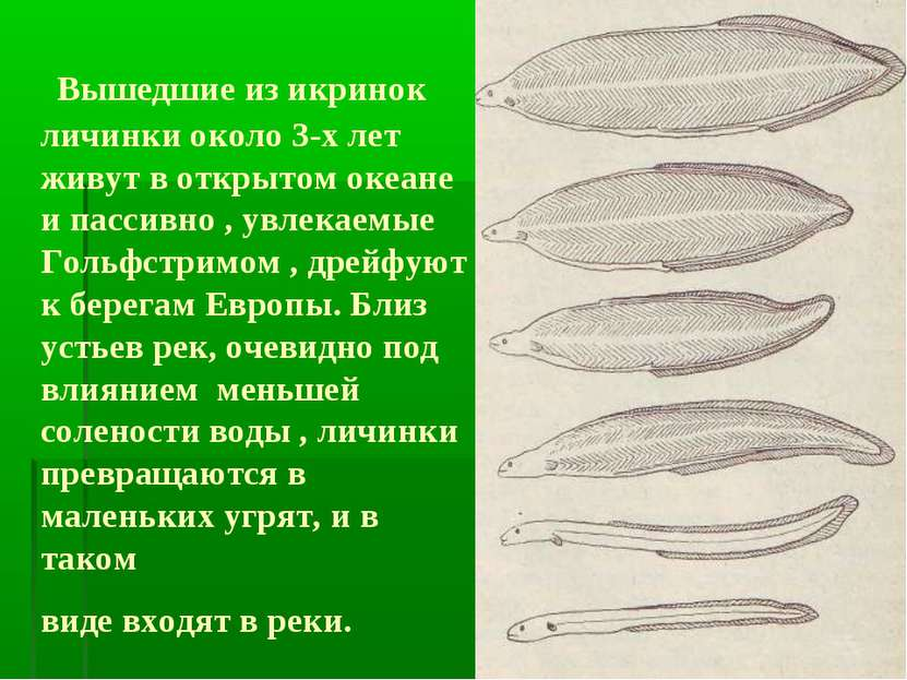 Вышедшие из икринок личинки около 3-х лет живут в открытом океане и пассивно ...