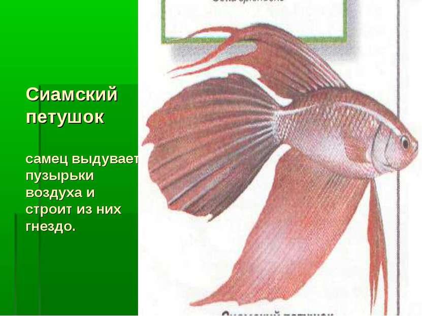 Сиамский петушок самец выдувает пузырьки воздуха и строит из них гнездо.