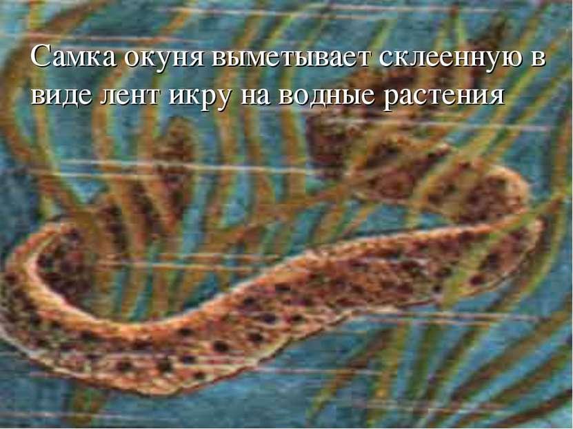 Самка окуня выметывает склеенную в виде лент икру на водные растения