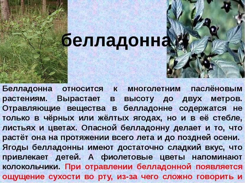 белладонна Белладонна относится к многолетним паслёновым растениям. Вырастает...