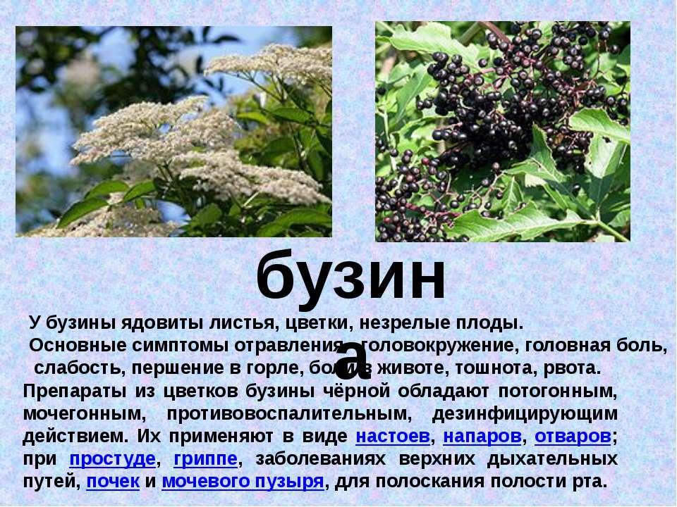 бузина У бузины ядовиты листья, цветки, незрелые плоды. Основные симптомы отр...