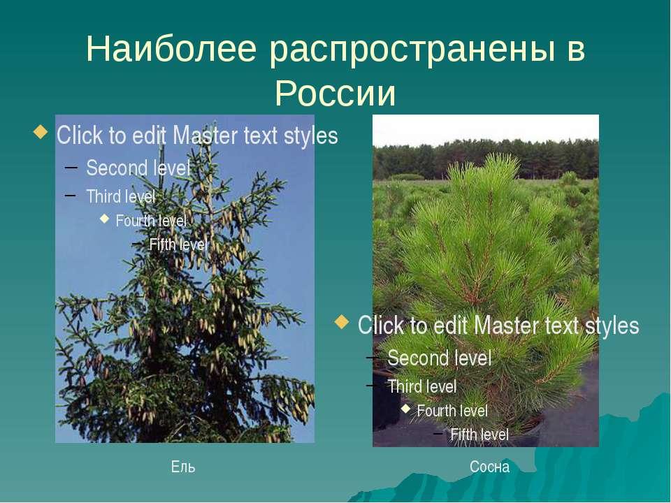 Наиболее распространены в России Ель Сосна