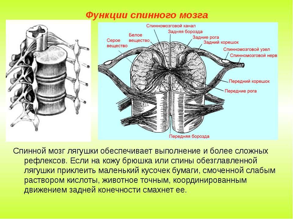 Функции спинного мозга Спинной мозг лягушки обеспечивает выполнение и более с...
