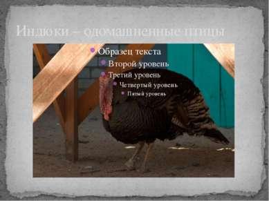 Индюки – одомашненные птицы