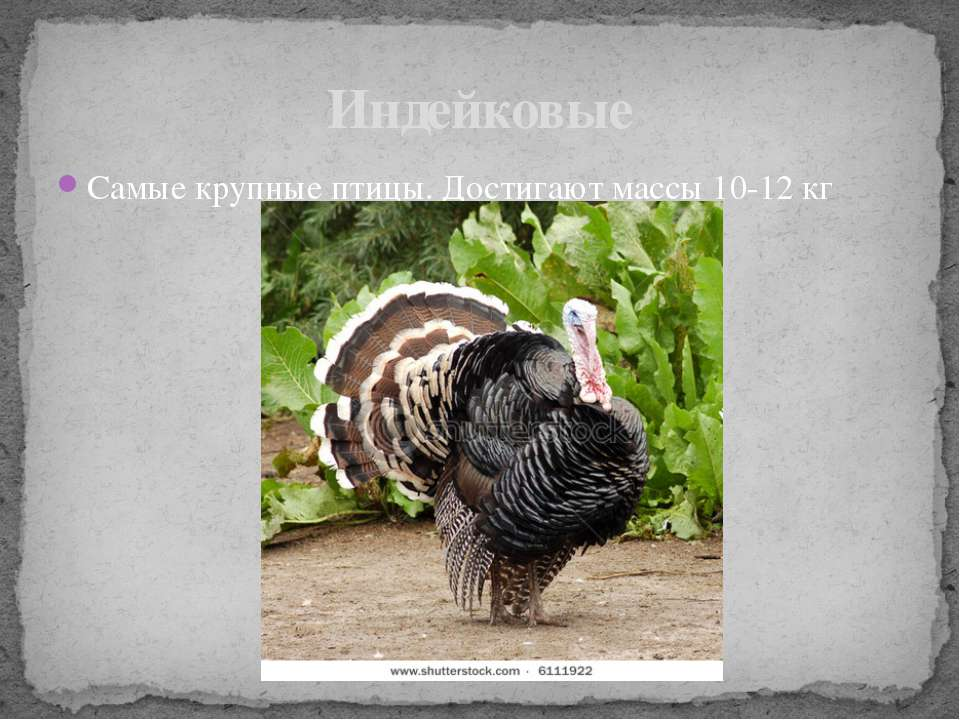 Самые крупные птицы. Достигают массы 10-12 кг Индейковые