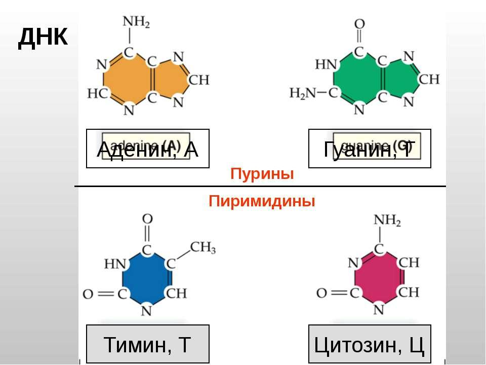 Тимин, Т Цитозин, Ц Аденин, А Гуанин, Г ДНК Пурины Пиримидины