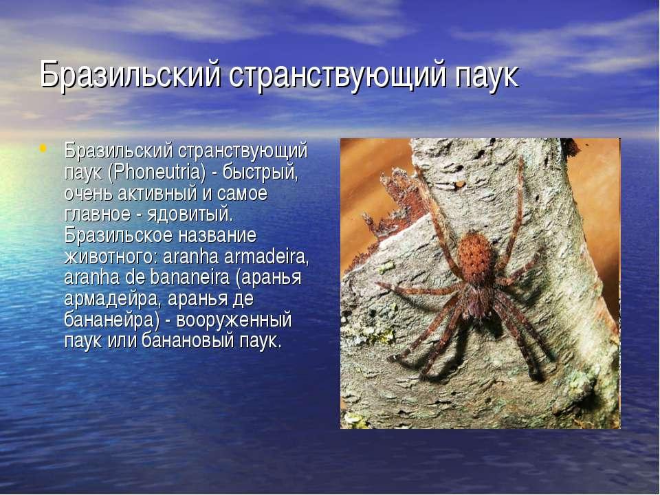 Бразильский странствующий паук Бразильский странствующий паук (Phoneutria) - ...