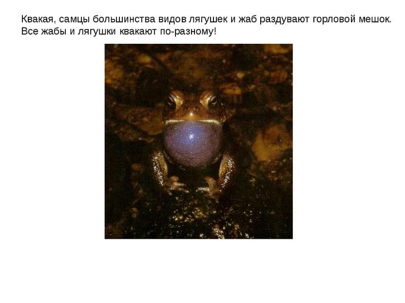 Квакая, самцы большинства видов лягушек и жаб раздувают горловой мешок. Все ж...