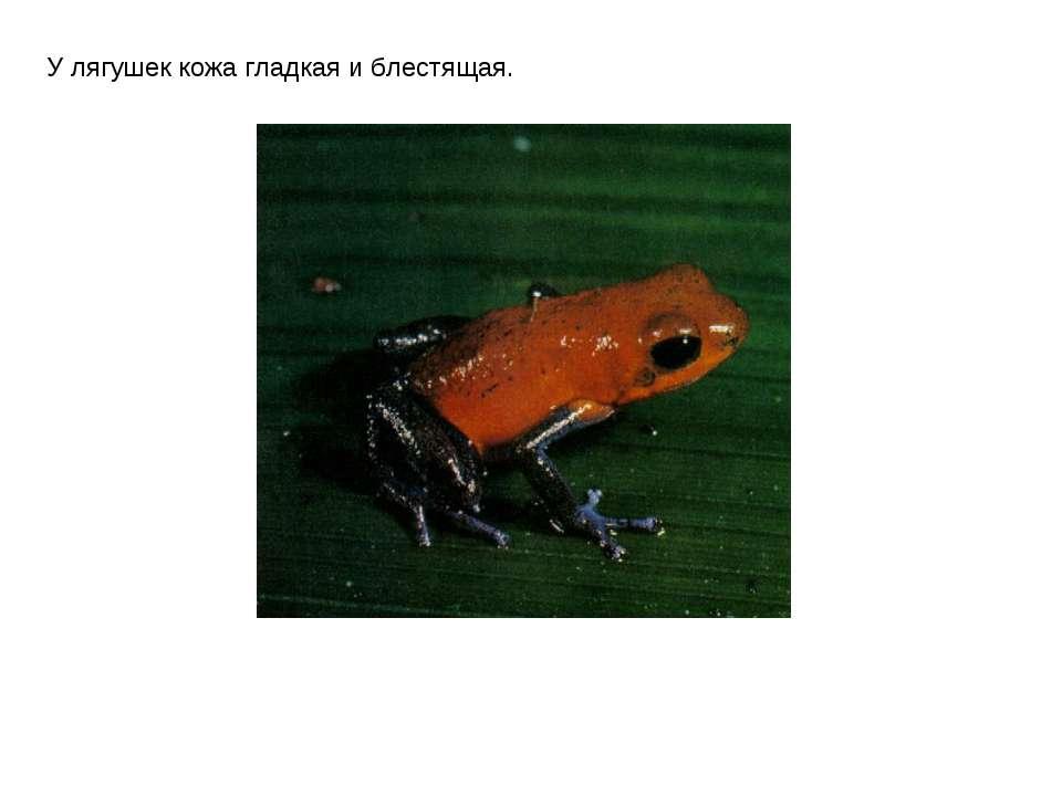 У лягушек кожа гладкая и блестящая.