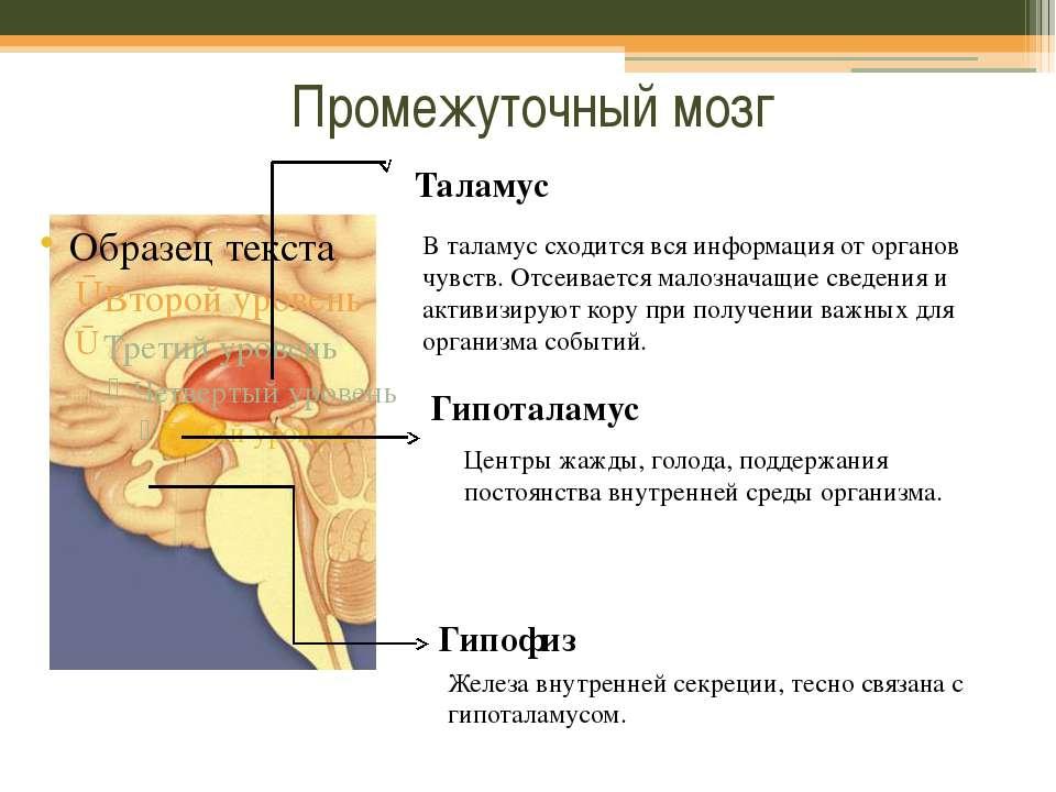 Промежуточный мозг Таламус В таламус сходится вся информация от органов чувст...