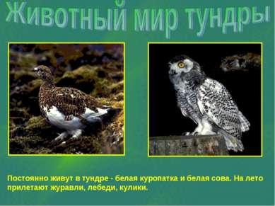 Постоянно живут в тундре - белая куропатка и белая сова. На лето прилетают жу...