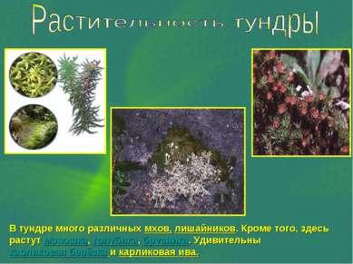 В тундре много различных мхов, лишайников. Кроме того, здесь растут морошка, ...