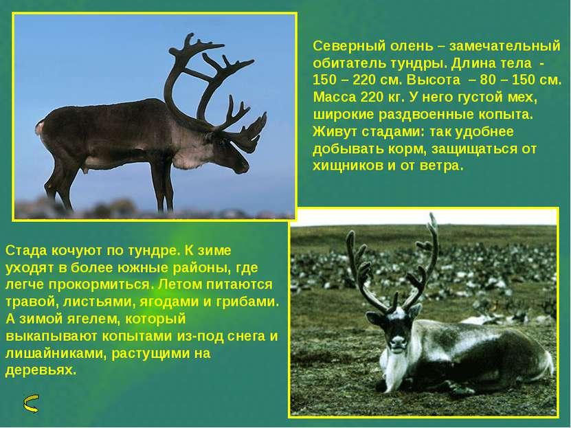 Северный олень – замечательный обитатель тундры. Длина тела - 150 – 220 см. В...