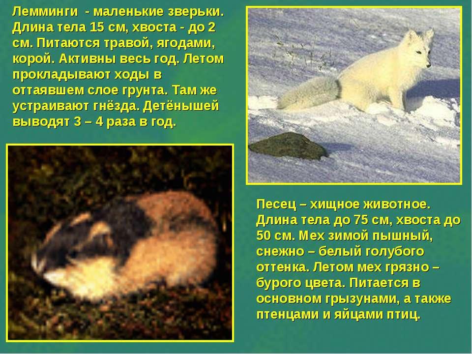 Лемминги - маленькие зверьки. Длина тела 15 см, хвоста - до 2 см. Питаются тр...