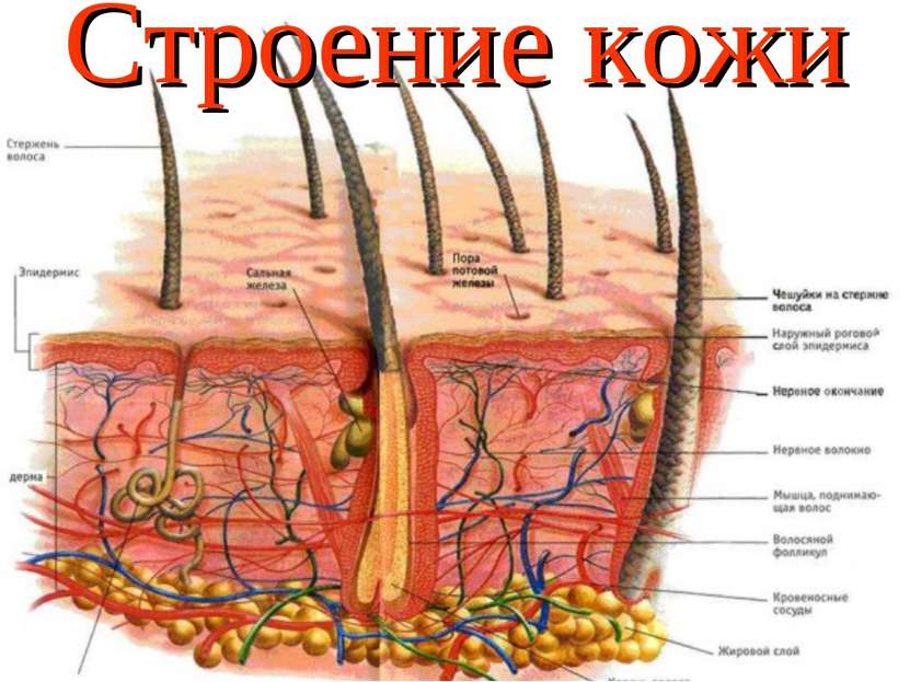 * Строение кожи
