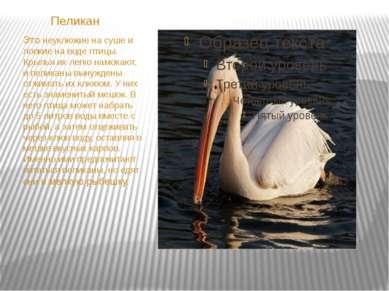Пеликан Это неуклюжие на суше и ловкие на воде птицы. Крылья их легко намокаю...