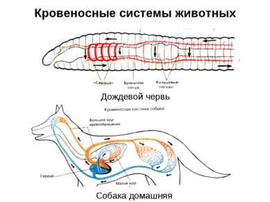 Кровеносные системы животных Дождевой червь Собака домашняя