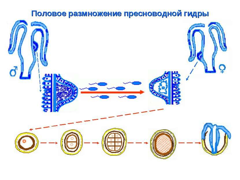 Половое размножение пресноводной гидры