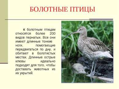 БОЛОТНЫЕ ПТИЦЫ К болотным птицам относятся более 200 видов пернатых. Все они ...