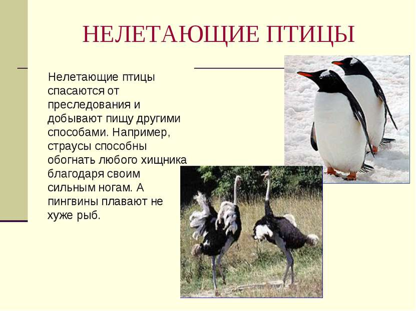 НЕЛЕТАЮЩИЕ ПТИЦЫ Нелетающие птицы спасаются от преследования и добывают пищу ...