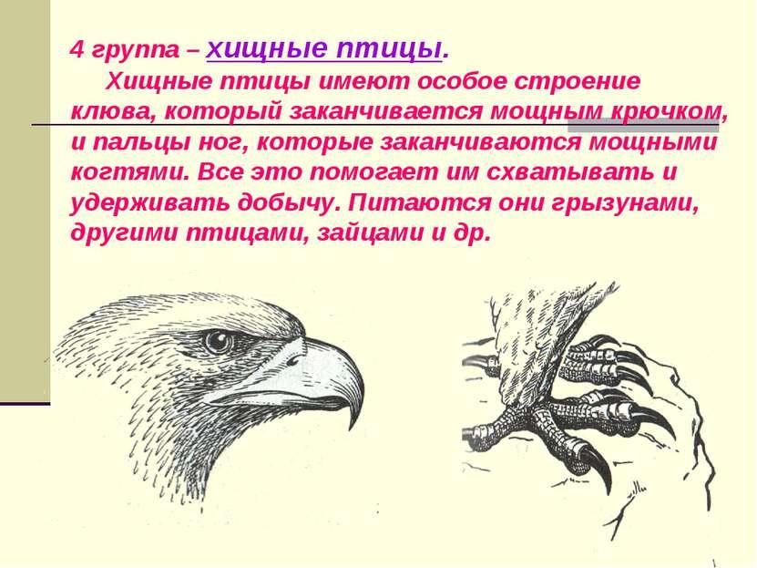 4 группа – хищные птицы. Хищные птицы имеют особое строение клюва, который за...