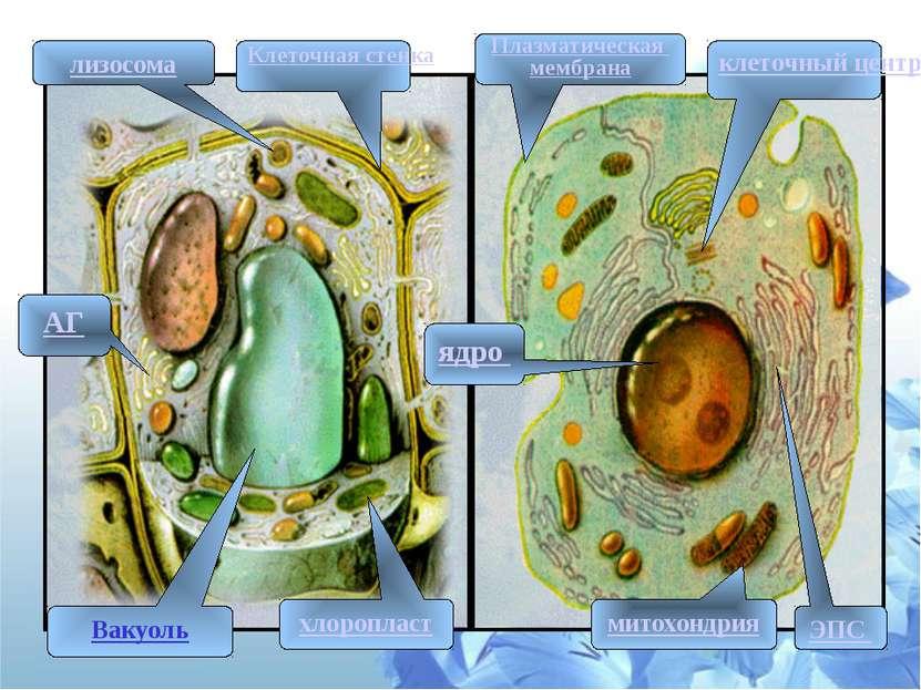 ЭПС АГ ядро митохондрия клеточный центр лизосома Вакуоль хлоропласт Плазматич...