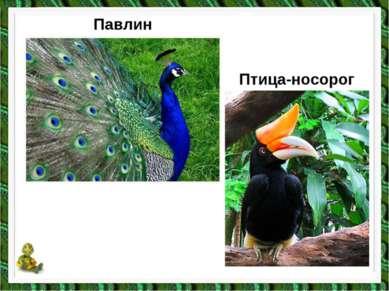 Павлин Птица-носорог
