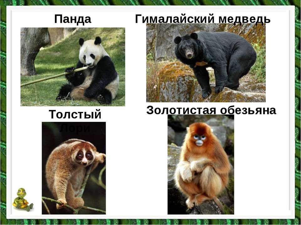 Толстый Лори Панда Гималайский медведь Золотистая обезьяна