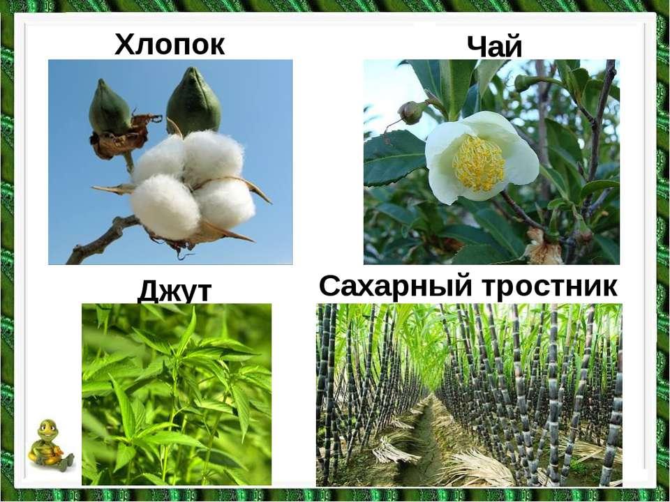Хлопок Чай Джут Сахарный тростник