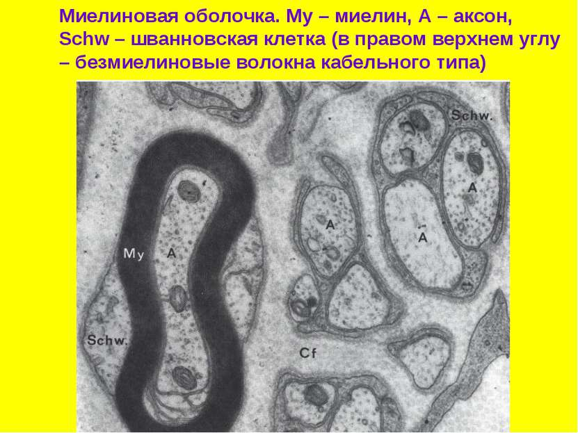 Миелиновая оболочка. My – миелин, А – аксон, Schw – шванновская клетка (в пра...