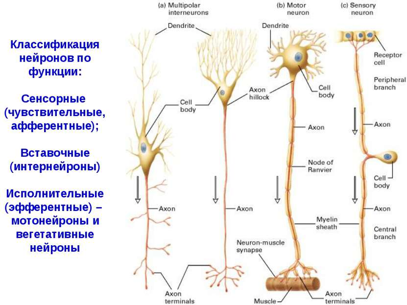 Классификация нейронов по функции: Сенсорные (чувствительные, афферентные); В...