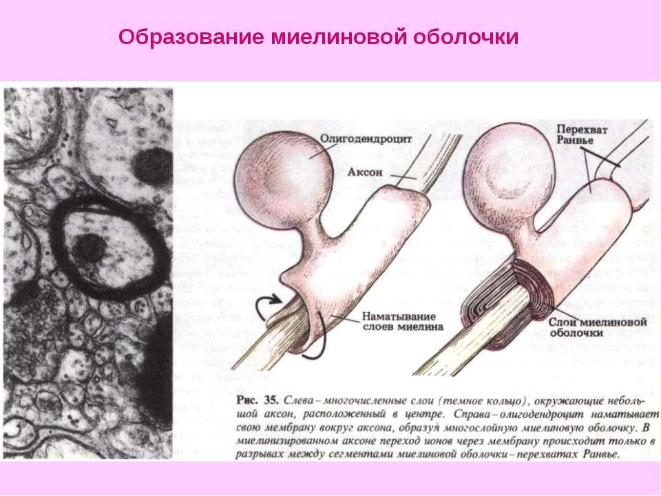 Образование миелиновой оболочки