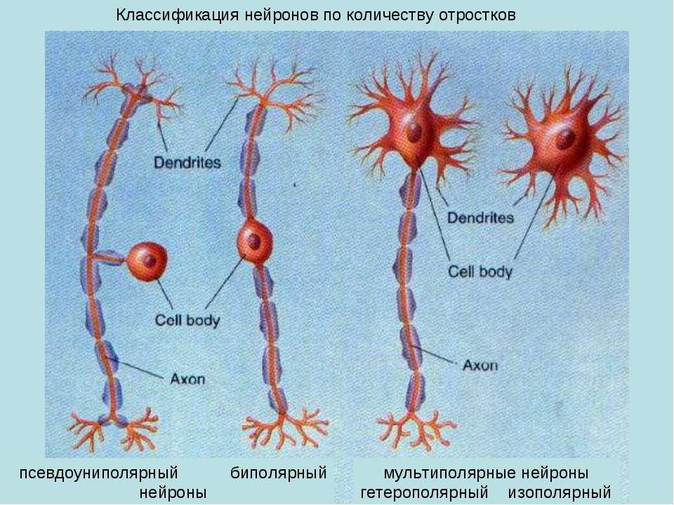 мультиполярные нейроны гетерополярный изополярный псевдоуниполярный биполярны...