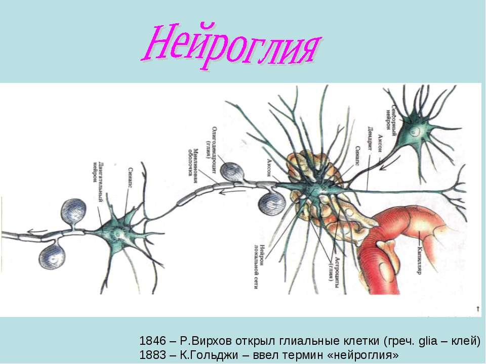 1846 – Р.Вирхов открыл глиальные клетки (греч. glia – клей) 1883 – К.Гольджи ...