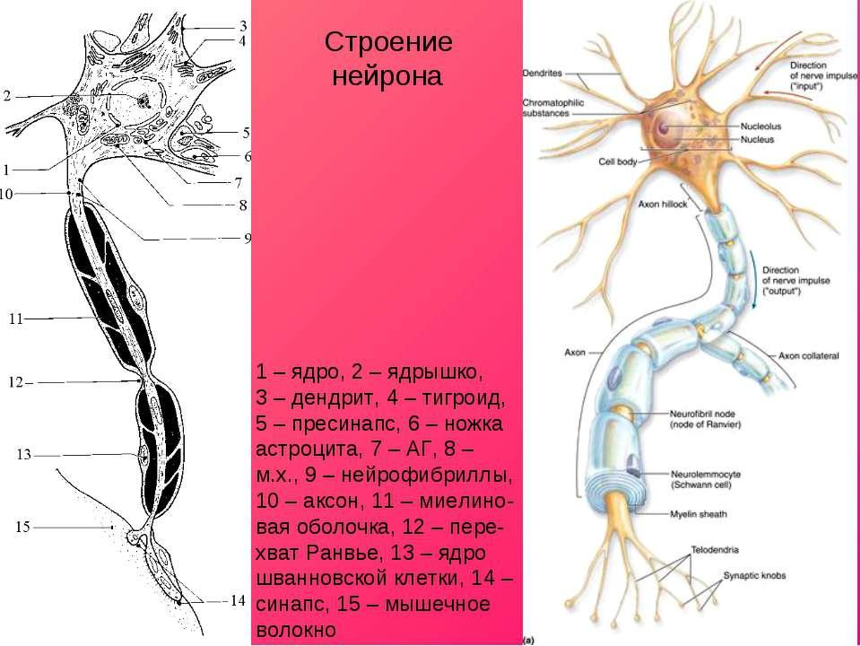 1 – ядро, 2 – ядрышко, 3 – дендрит, 4 – тигроид, 5 – пресинапс, 6 – ножка аст...