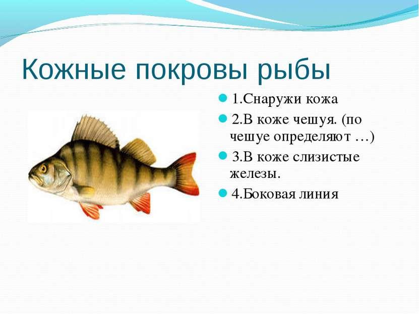 Кожные покровы рыбы 1.Снаружи кожа 2.В коже чешуя. (по чешуе определяют …) 3....