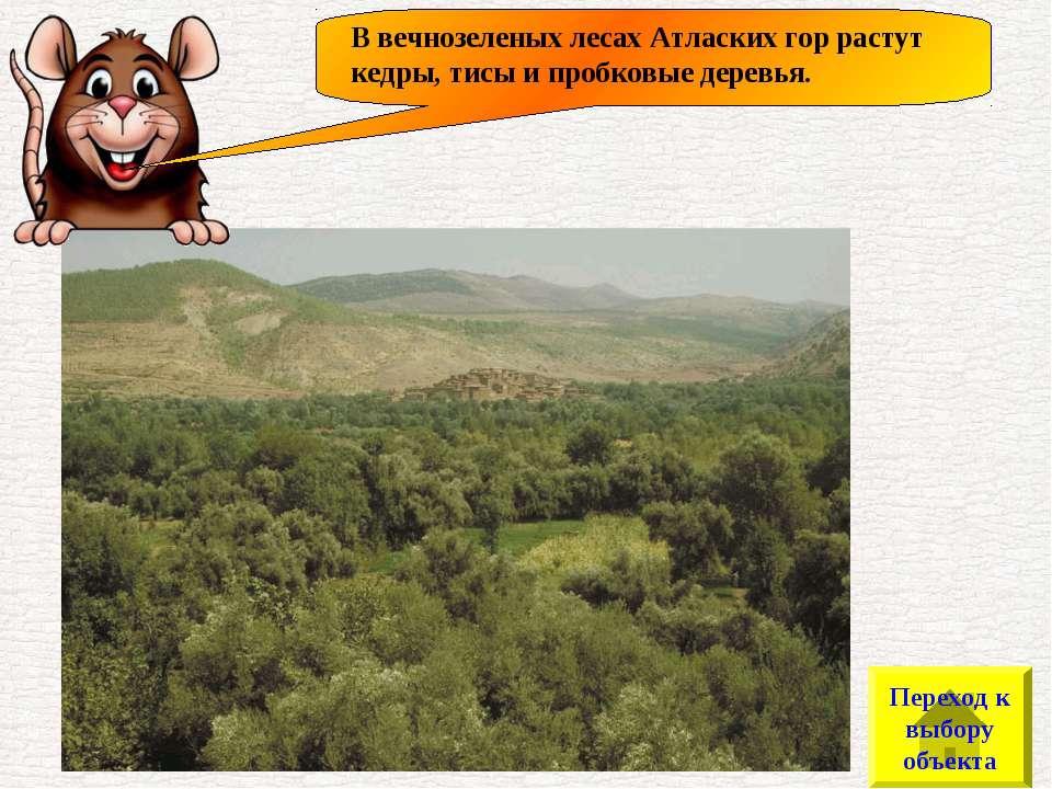 В вечнозеленых лесах Атласких гор растут кедры, тисы и пробковые деревья. Пер...