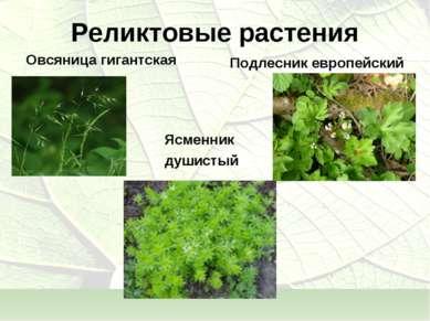 Реликтовые растения Овсяница гигантская Подлесник европейский Ясменник душистый