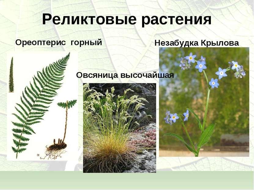 Реликтовые растения Ореоптерис горный Незабудка Крылова Овсяница высочайшая