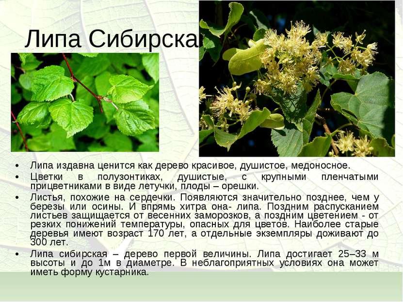 Липа Сибирская Липа издавна ценится как дерево красивое, душистое, медоносное...
